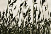'Rushing Reeds'